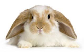 Вислоухий кролик-баран: содержание и уход, описание и характеристика животного, кормление