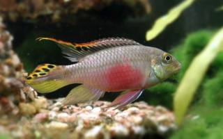 Пельвикахромис пульхер или цихдида попугайчик: совместимость с другими рыбками, содержание и уход