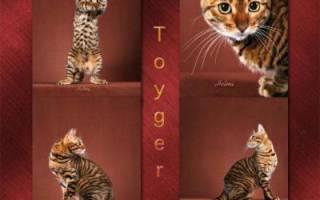Кошка тойгер: описание породы, телосложения и роста, уход и содержание, особенности разведения