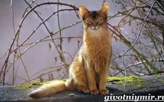 Сомалийская кошка: описание породы, характер, повадки, цена