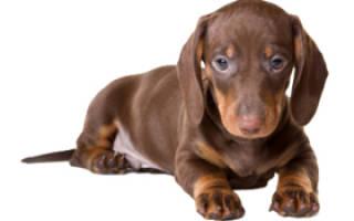 Такса собака: описание и характеристика породы, плюсы и минусы