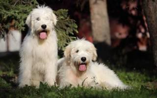 Южнорусская овчарка: описание породы, содержание и уход, стоимость щенков и разведение