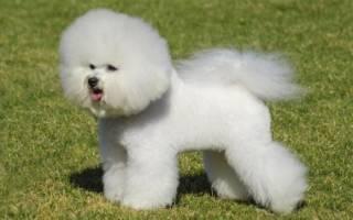 Бишон фризе: описание породы собак, плюсы и минусы, уход за французкой болонкой