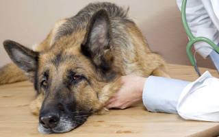 12 самых опасных болезней собак: признаки, симптомы и лечение