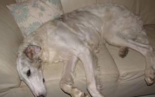 Дископатия у собак: симптомы и лечение после операции, эффективные лекартсва
