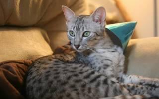 Египетская мау: описание породы кошек и их темперамента, содержание и уход