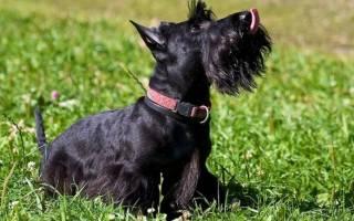 Порода собак скотч терьер: описание, характер и здоровье