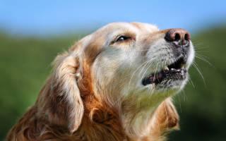 10 причин, почему собака воет: при хозяевах, когда остается одна дома, по ночам