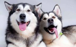Порода собак хаски: как и чем кормить в домашних условиях, клички для мальчиков и девочек, уход и содержание