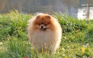 Померанский карликовый шпиц: характеристика породы собак и описание, характер и дрессировка