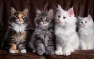 10 самых умных пород кошек в мире: описание и уход