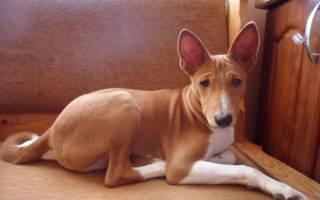 Гипотиреоз у собак: симптомы и лечение болезни, диагностика, профилактика