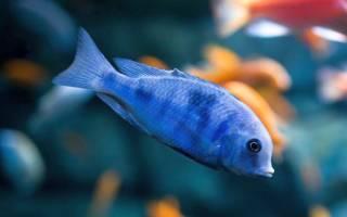 Аквариумная рыба голубой дельфин: содержание и совместимость с другими рыбами