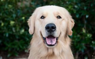 Золотистый или голден ретривер: описание породы и характера собаки